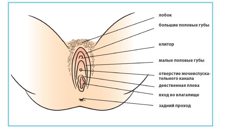 polovie-organi-bolshoy-klitor